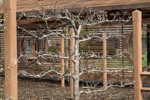 arbre fruitier en espalier infos et choix de l 39 arbre en espalier. Black Bedroom Furniture Sets. Home Design Ideas