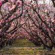 Tailler un cerisier