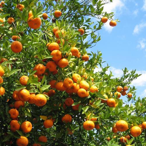 Réussir la taille d'un oranger