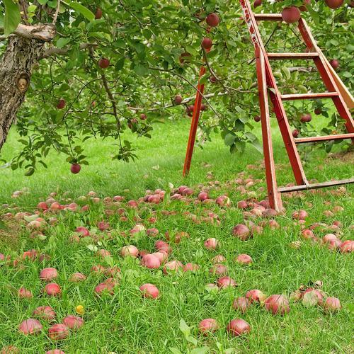 Cueillir les pommes