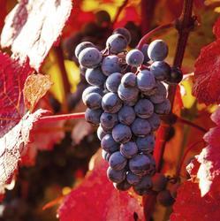 Engrais pour vigne