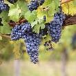 Réussir le palissage de la vigne