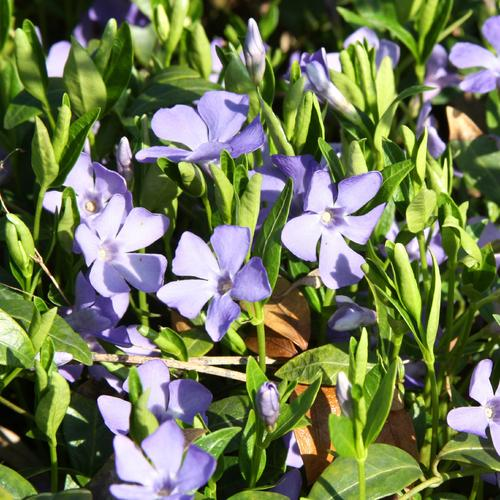 Fleurs Bleues Sous Bois Printemps