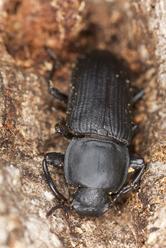 Vrillette comment les liminer ooreka - Insecte rampant maison ...