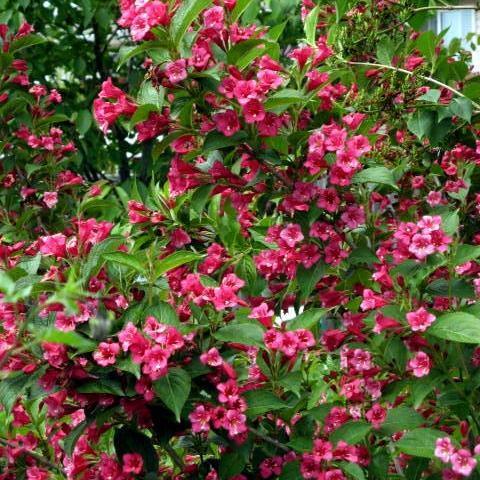 Arbuste fleurs rouges liste ooreka - Les plus beaux arbustes persistants ...