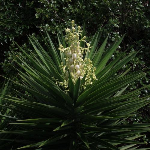 Plantes pour balcon liste ooreka for Yucca plante exterieur